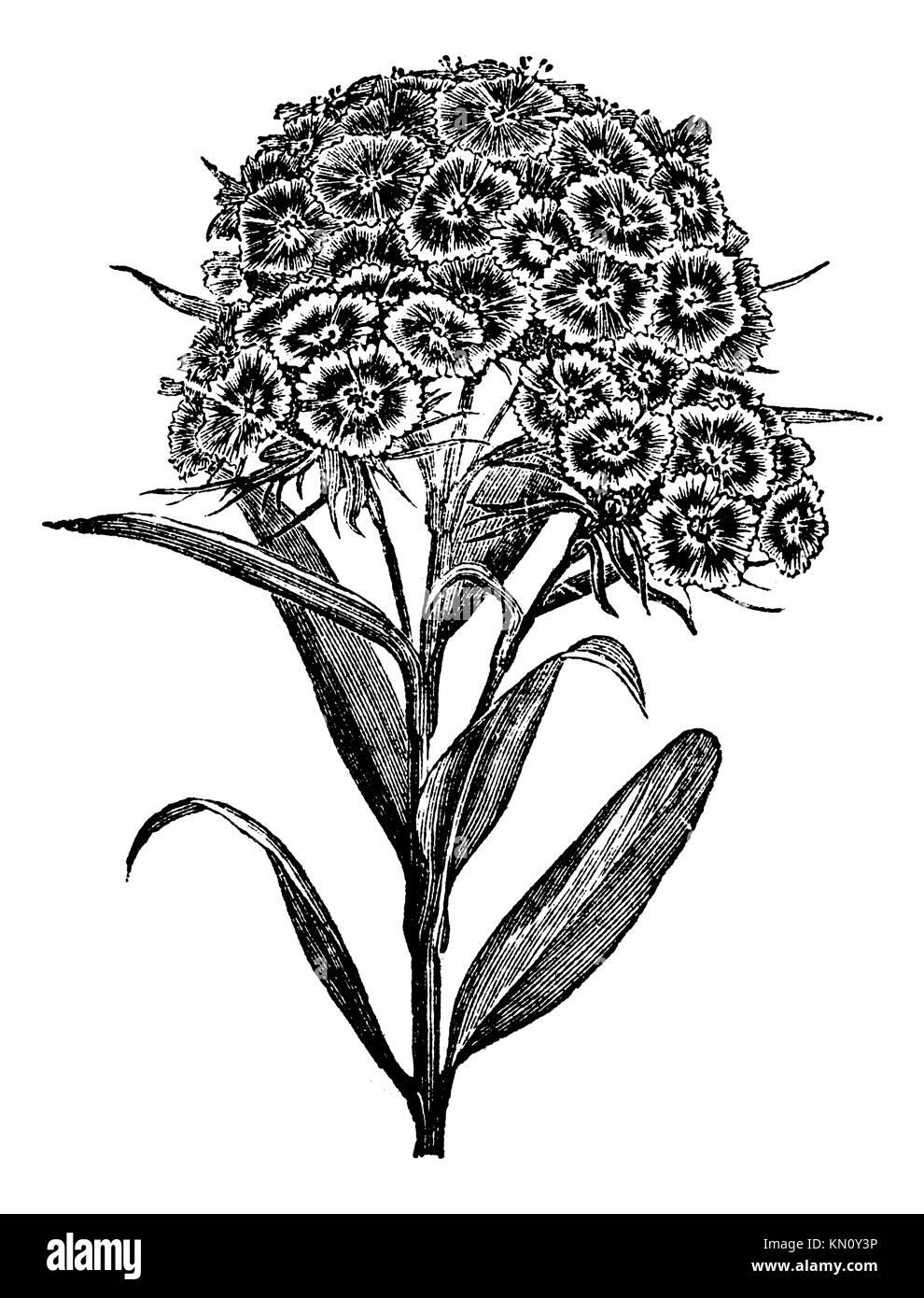 Dianthus barbatus oeillet barbu ou Sweet William vintage engraved illustration encyclopédie Trousset 1886  Photo Stock