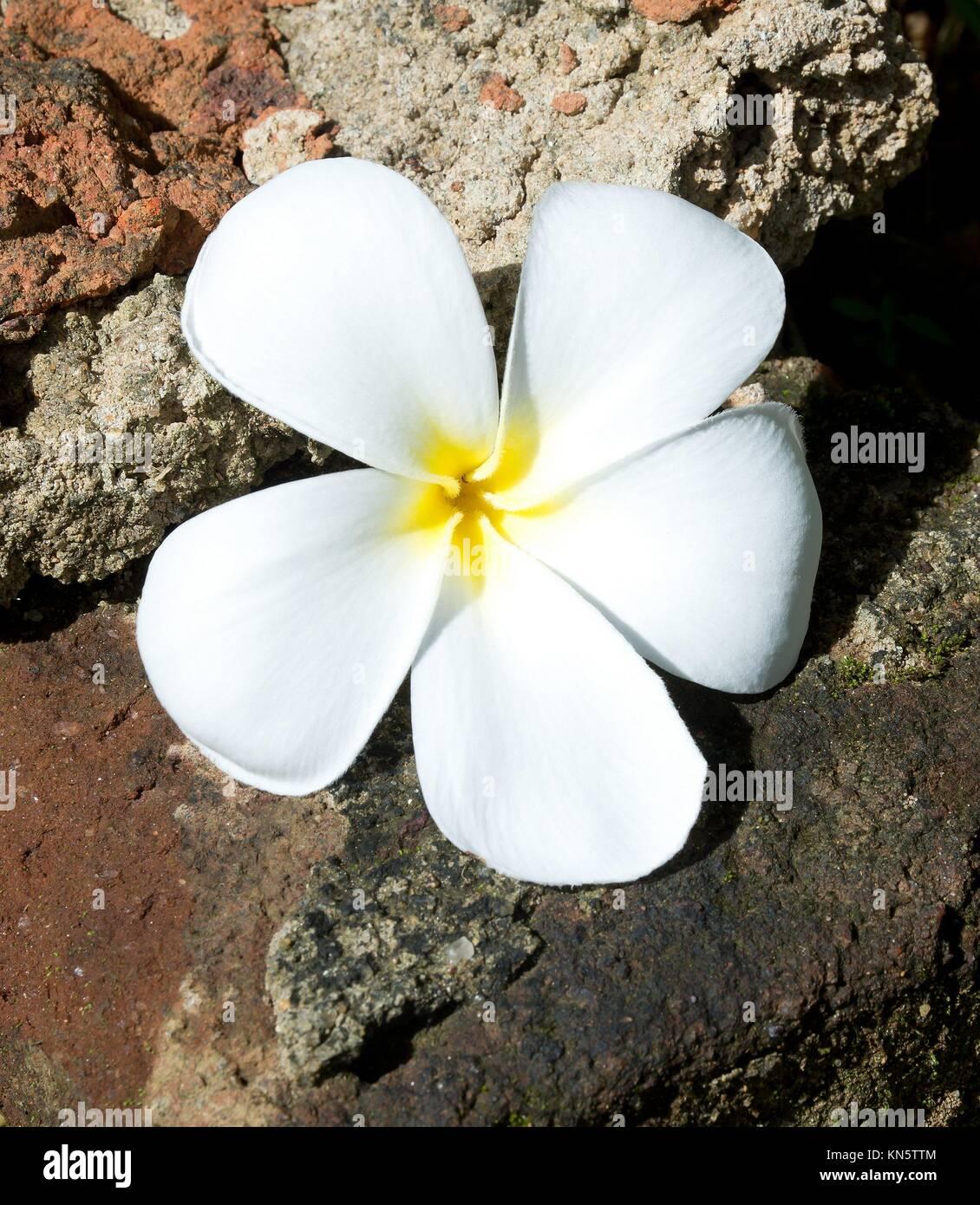 Temple Tree Flower. La fleur est considérée comme le symbole de la fragilité de la vie humaine d'où Photo Stock