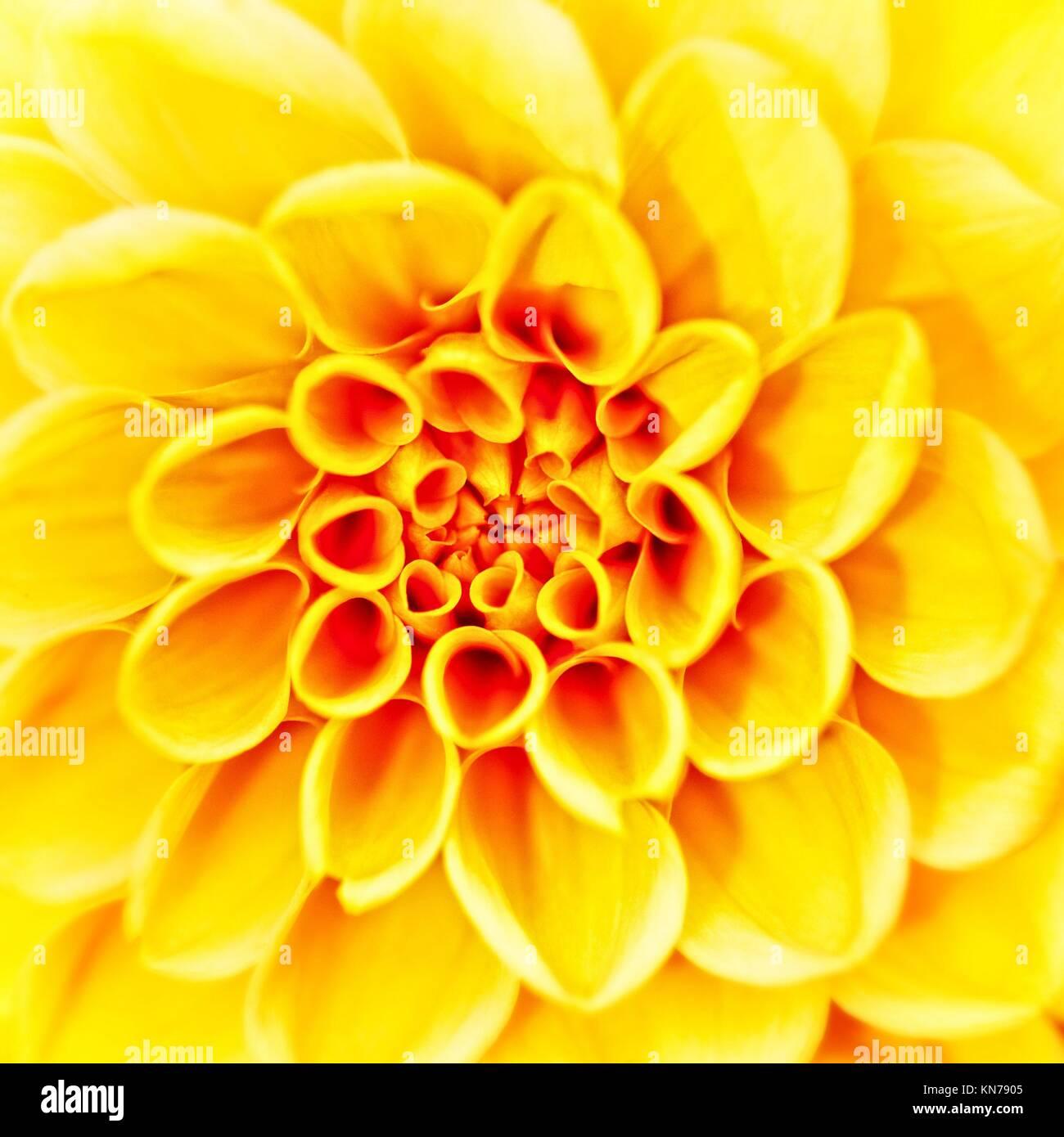 Beauté fleur herbera, résumé fonds neutres. Photo Stock