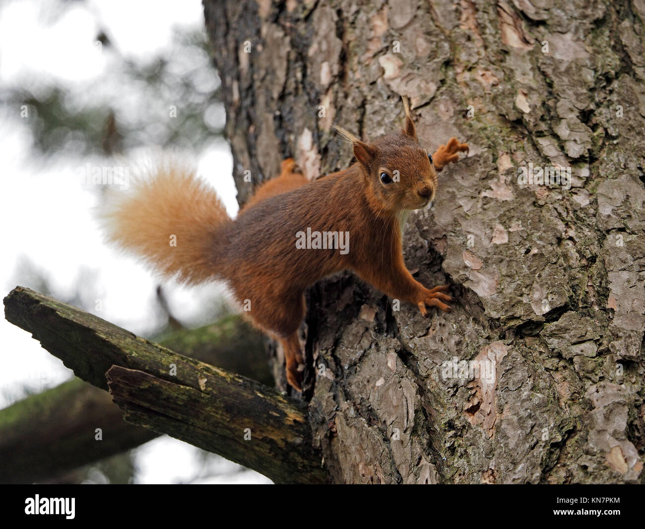 Eurasienne alerte l'écureuil roux (Sciurus vulgaris) et des mains avec des griffes sur l'écorce du tronc du pin sylvestre (Pinus sylvestris) dans la région de Cumbria, Angleterre, Royaume-Uni Banque D'Images