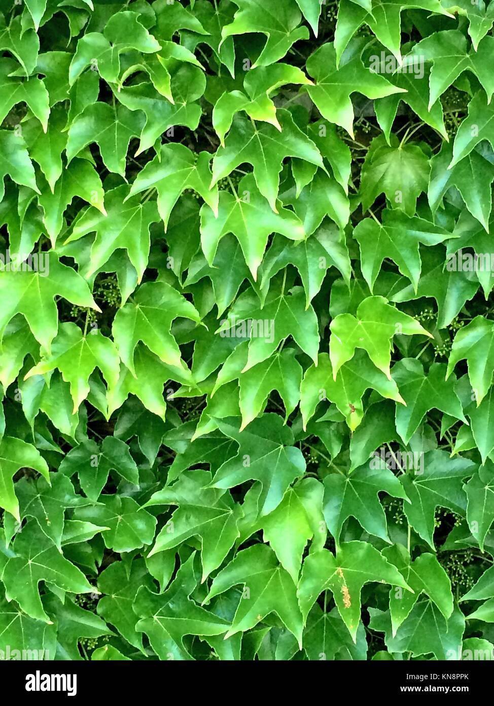 Les feuilles de vigne sauvage en été. Photo Stock
