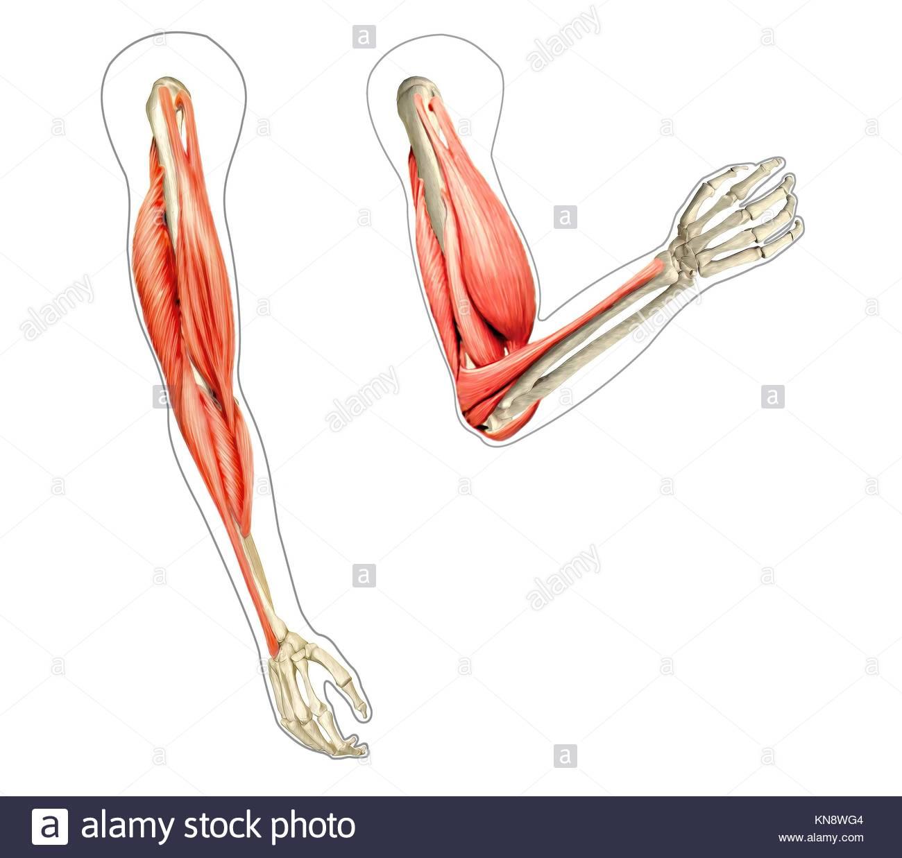 Schéma de l anatomie des bras humains b6636eb81eb