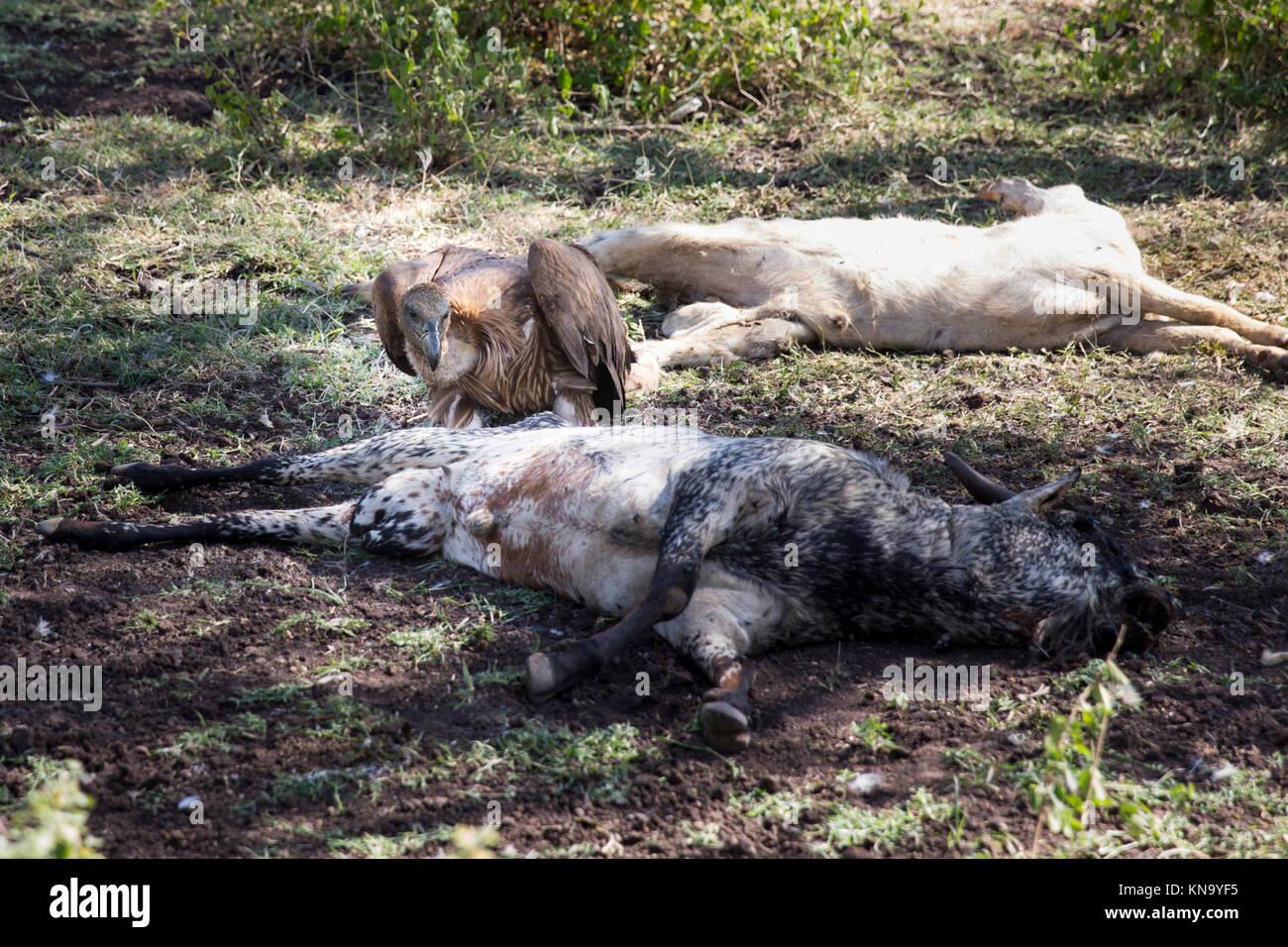 Vautour de ruppel alimentation bétail mort en Ethiopie Photo Stock