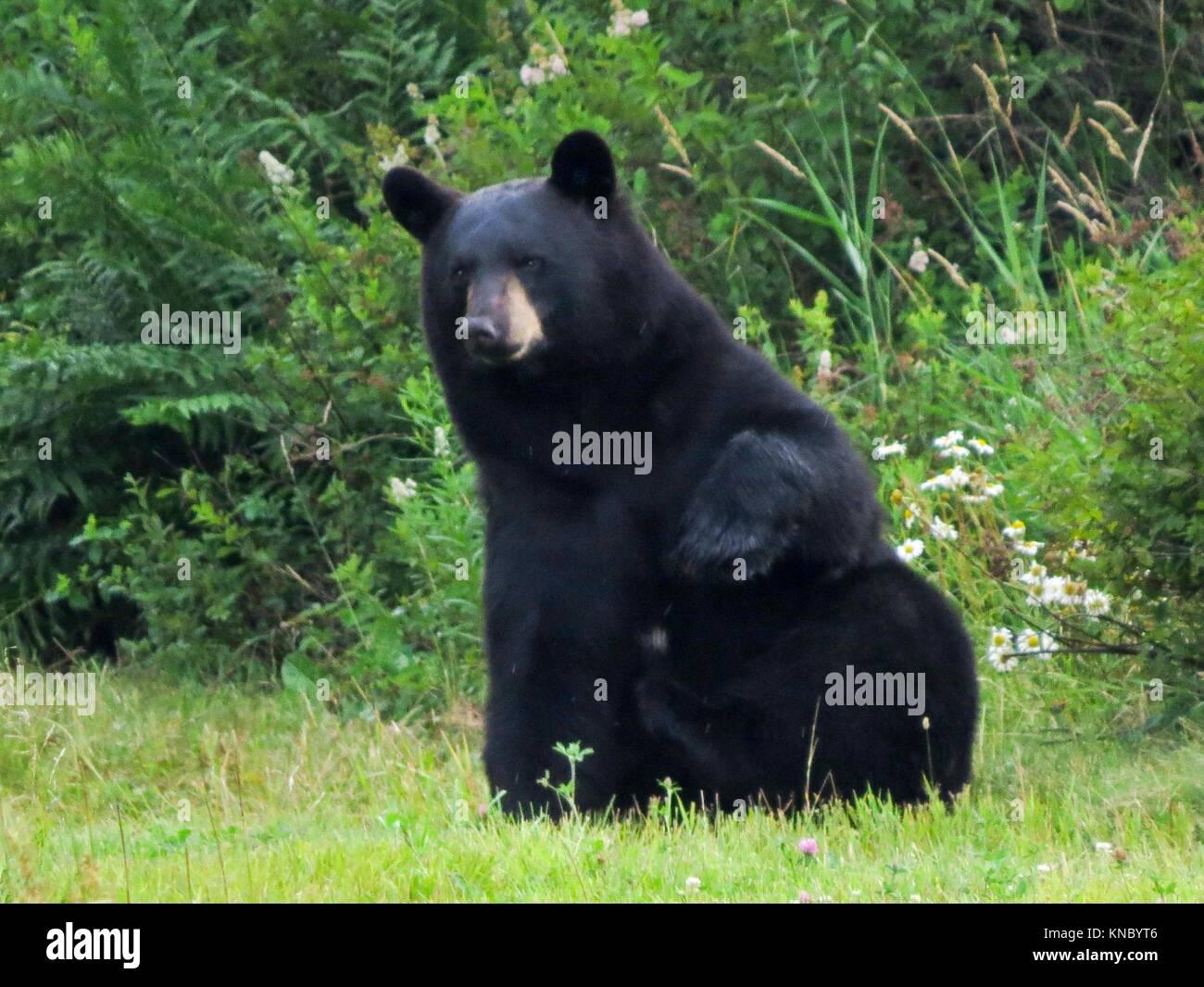 L'ours noir (Ursus americanus) Photo Stock