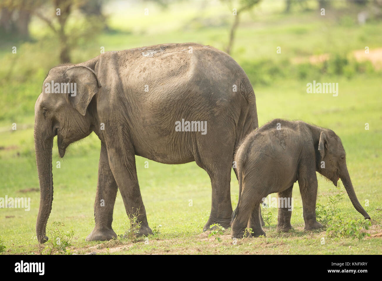 Sri Lanka (Asie) Éléphant (Elephas maximus maximus) Photo Stock