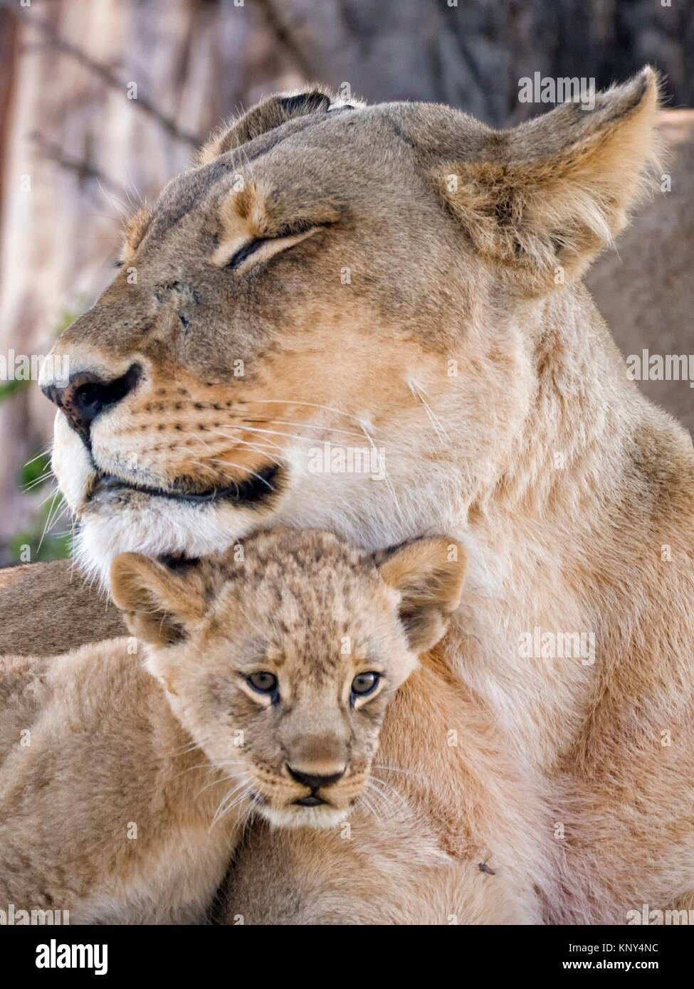 Le Botswana. Lionne et bébé. Photo Stock