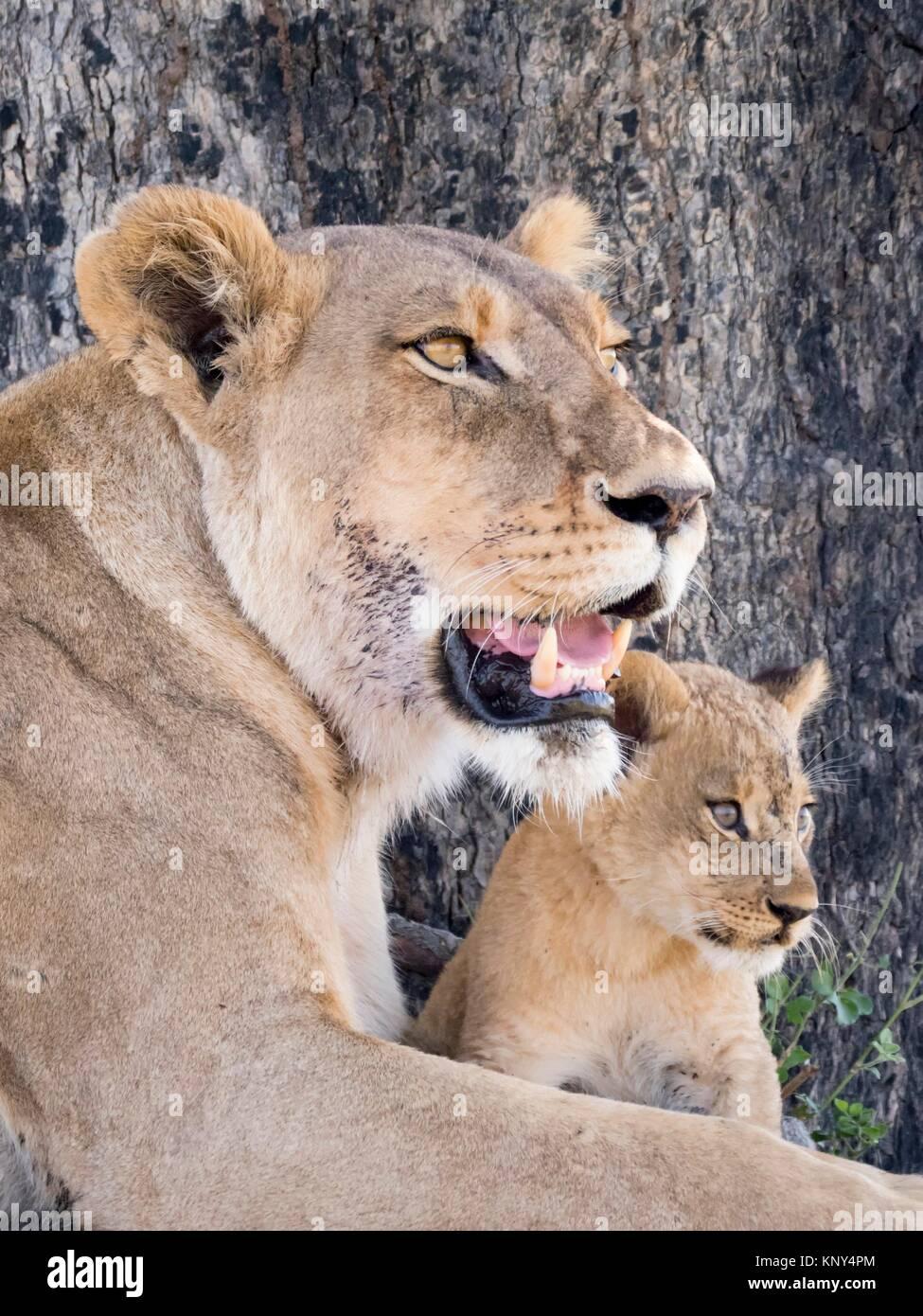 Le Botswana. Femme Lion et Cub. Banque D'Images