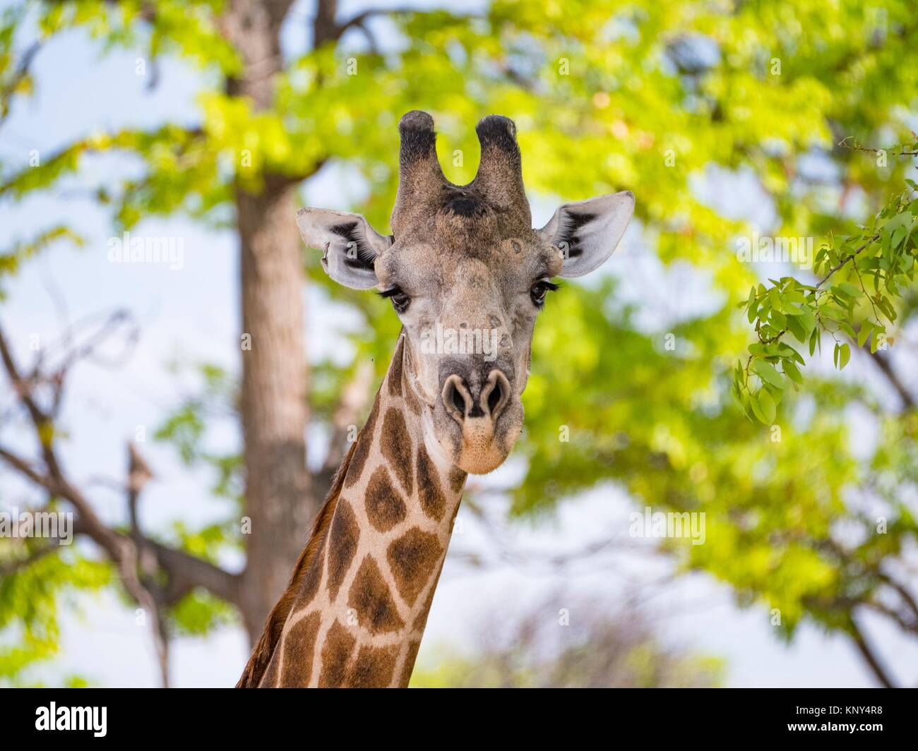 Le Botswana. Girafe. Photo Stock