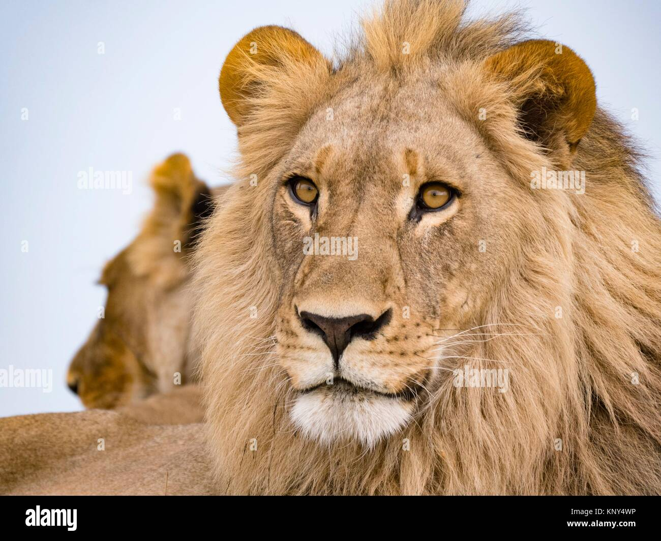 Le Botswana. Lion. Photo Stock