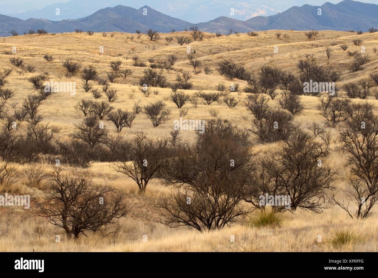 À mesquite, Las Cienegas National Conservation Area, Arizona. Banque D'Images