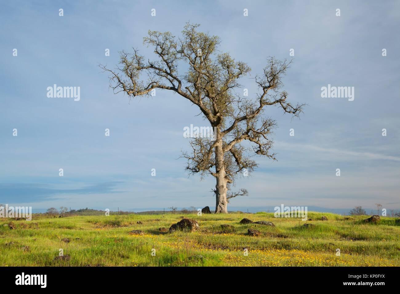 Forêt de chênes, Sacramento River Bend Domaine de préoccupation environnementale essentielle, en Photo Stock