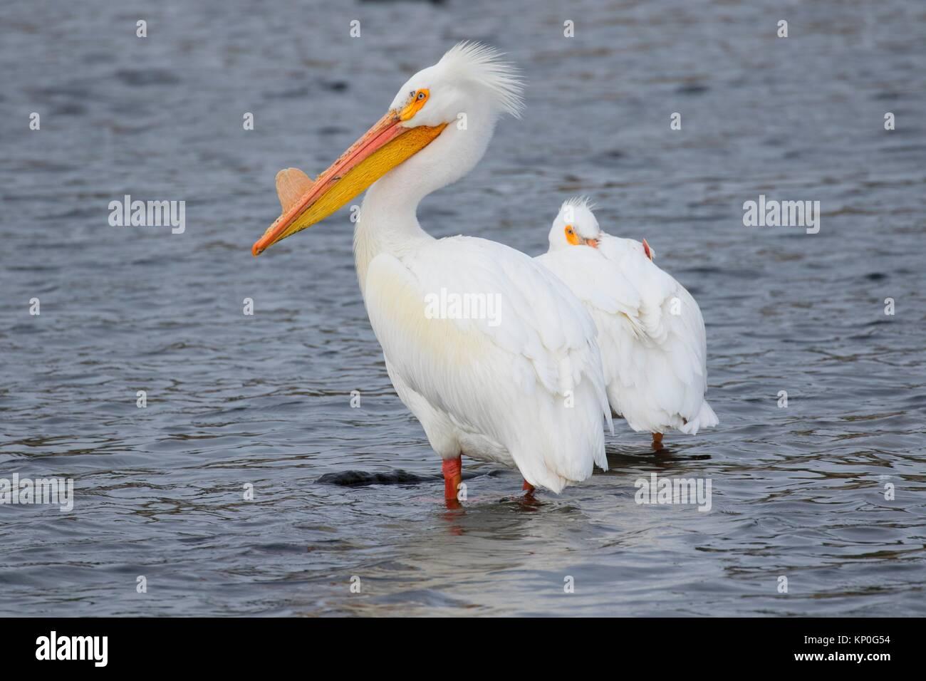Pélican blanc (Pelecanus erythrorhynchos), l'accès à l'eau du ruisseau Rocky Ford Site, Washington. Photo Stock