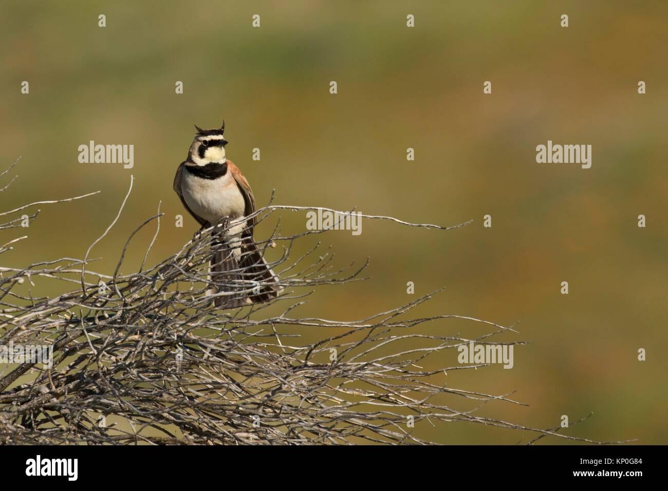 Alouette, Antelope Valley California Poppy State Reserve, en Californie. Photo Stock