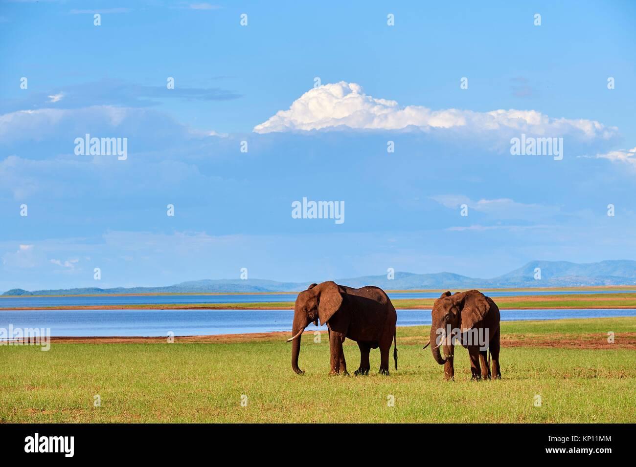 Les éléphants d'Afrique (Loxodonta africana) faire paître sur les rives du lac Kariba. Matusadona Photo Stock
