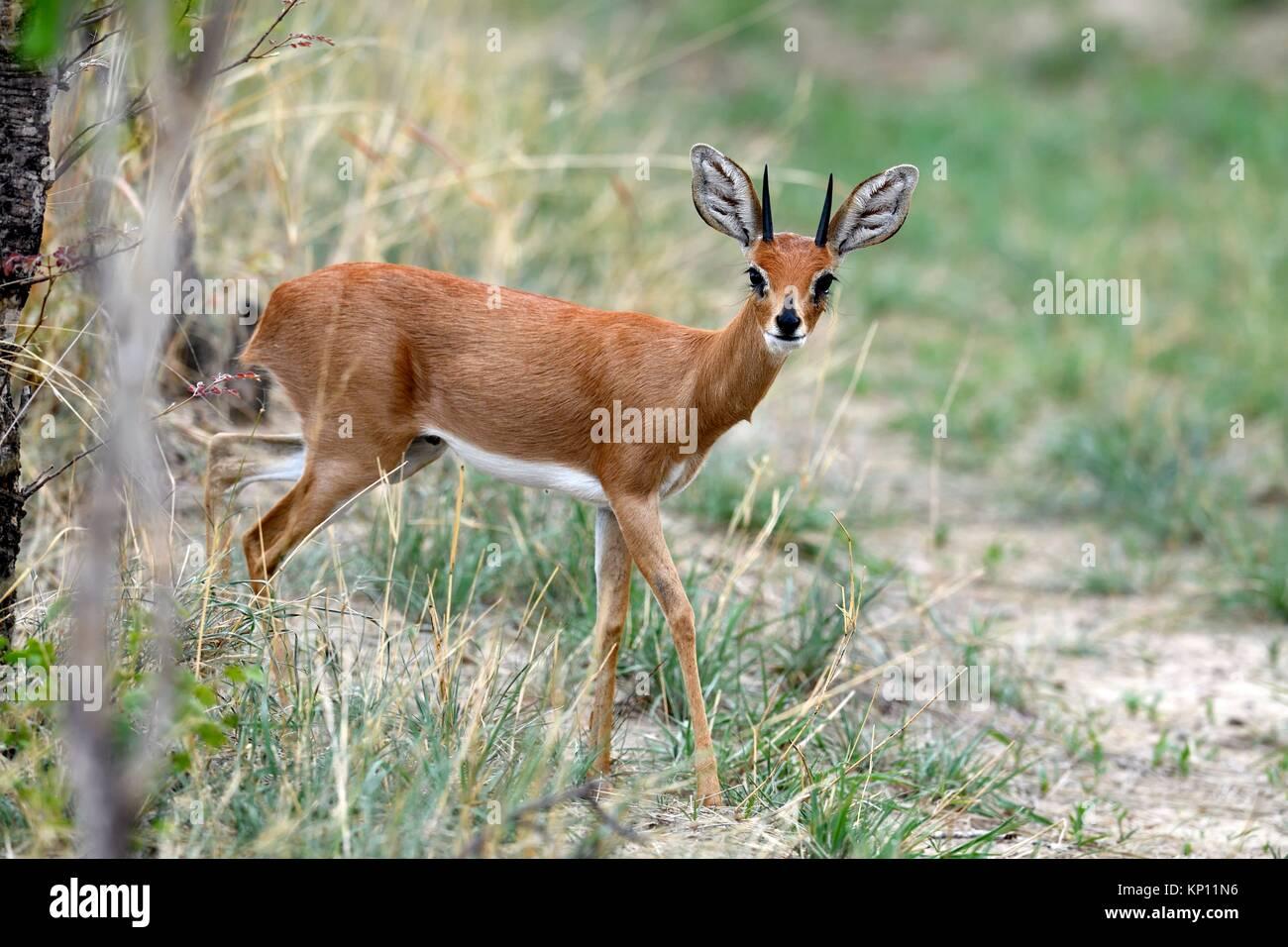 Steenbok Raphicerus campestris (mâle) Le parc national de Hwange, Zimbabwe. Photo Stock