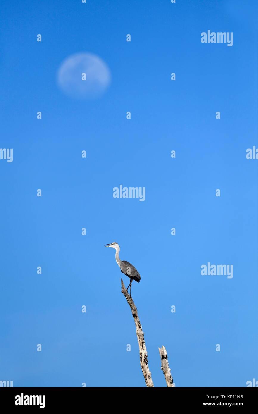 Héron cendré (Ardea cinerea) perché sur branche morte avec la lune en arrière-plan. Lac Kariba, Photo Stock