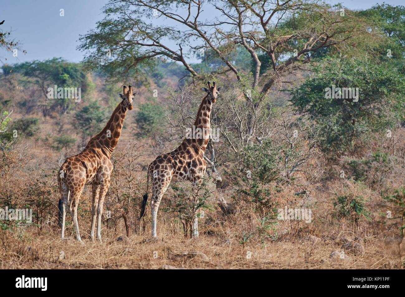 Rothschild Girafe (Giraffa camelopardalis rothschildi) dans Murchisson Falls National Park, de l'Ouganda. Photo Stock
