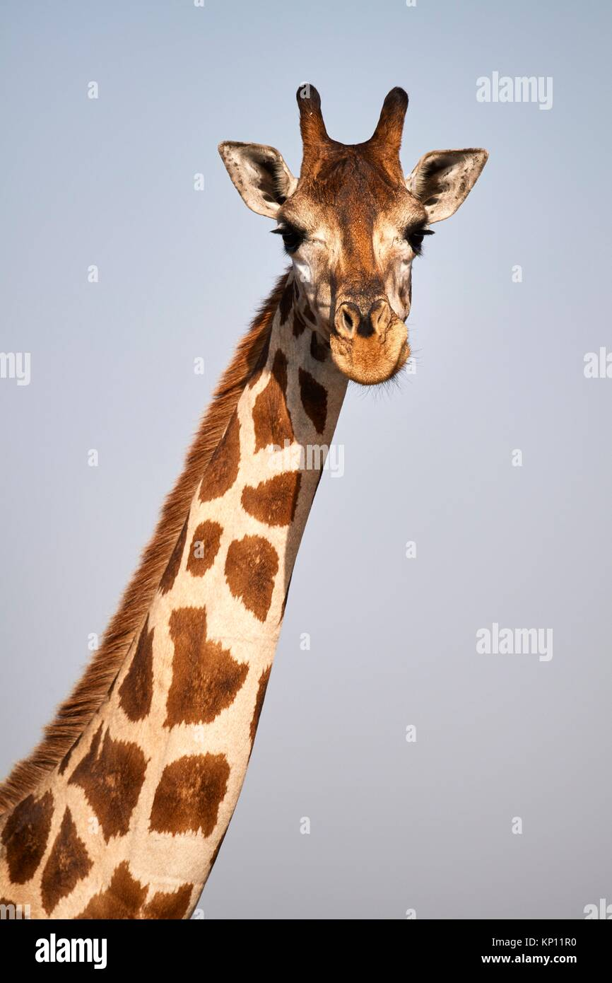 Tête portrait Rothschild Girafe (Giraffa camelopardalis rothschildi) femmes dans Murchisson Falls National Photo Stock