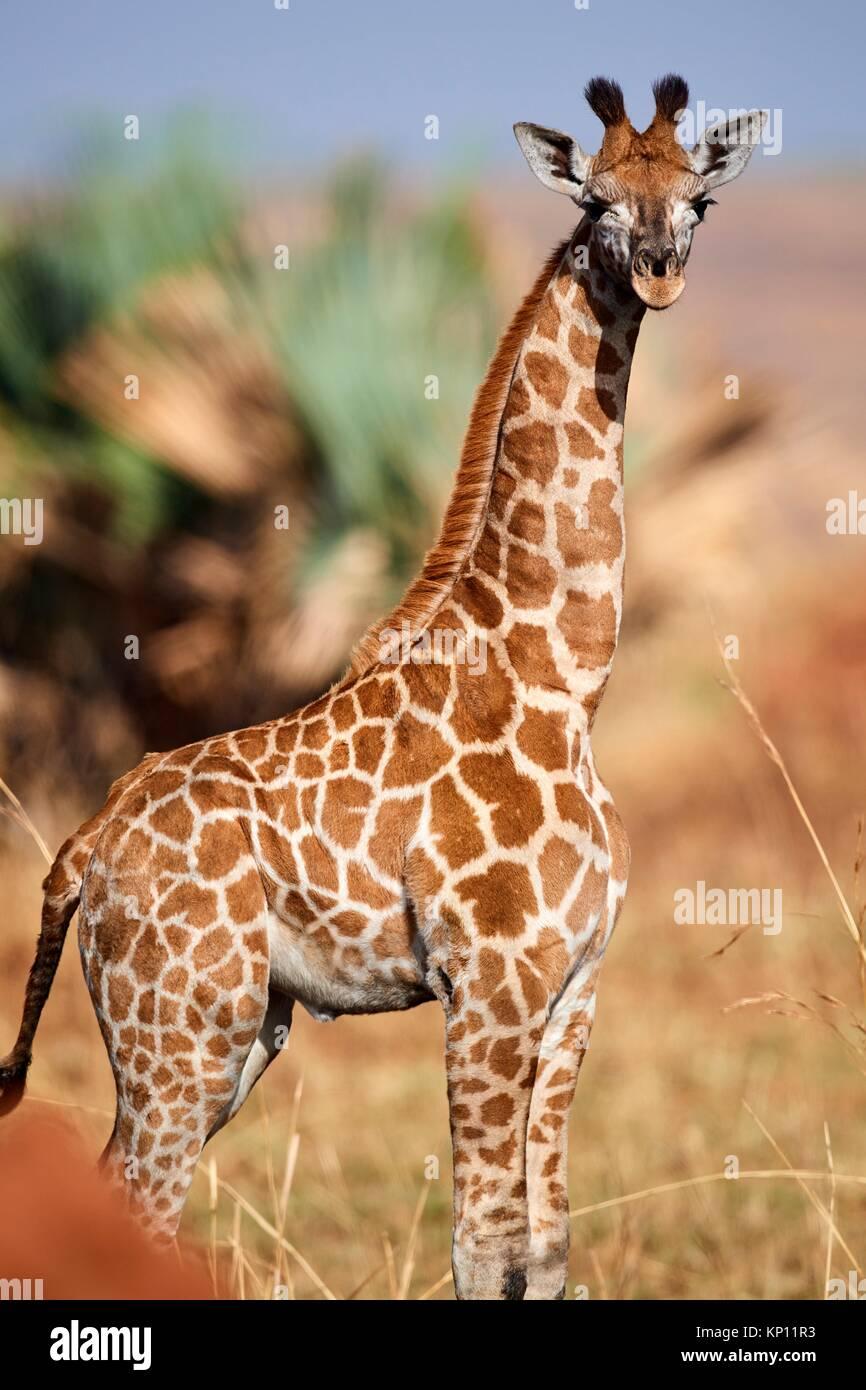 Les jeunes Rothschild Girafe (Giraffa camelopardalis rothschildi) Murchisson Falls National Park, de l'Ouganda. Photo Stock