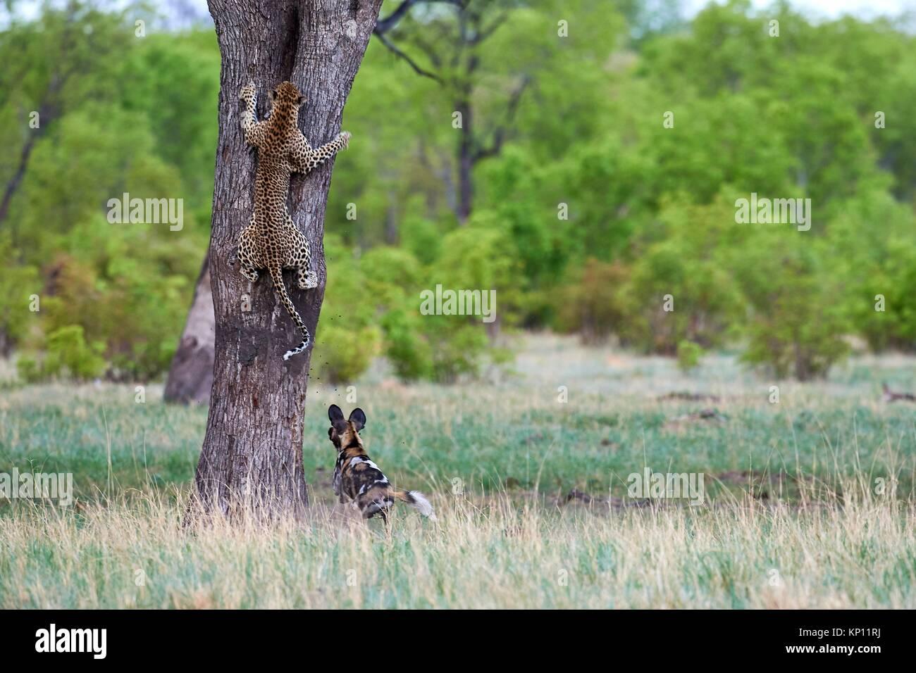 Lycaons (Lycaon pictus) poursuivant un léopard (Panthera pardus) qui grimpe sur un arbre pour se réfugier. Photo Stock