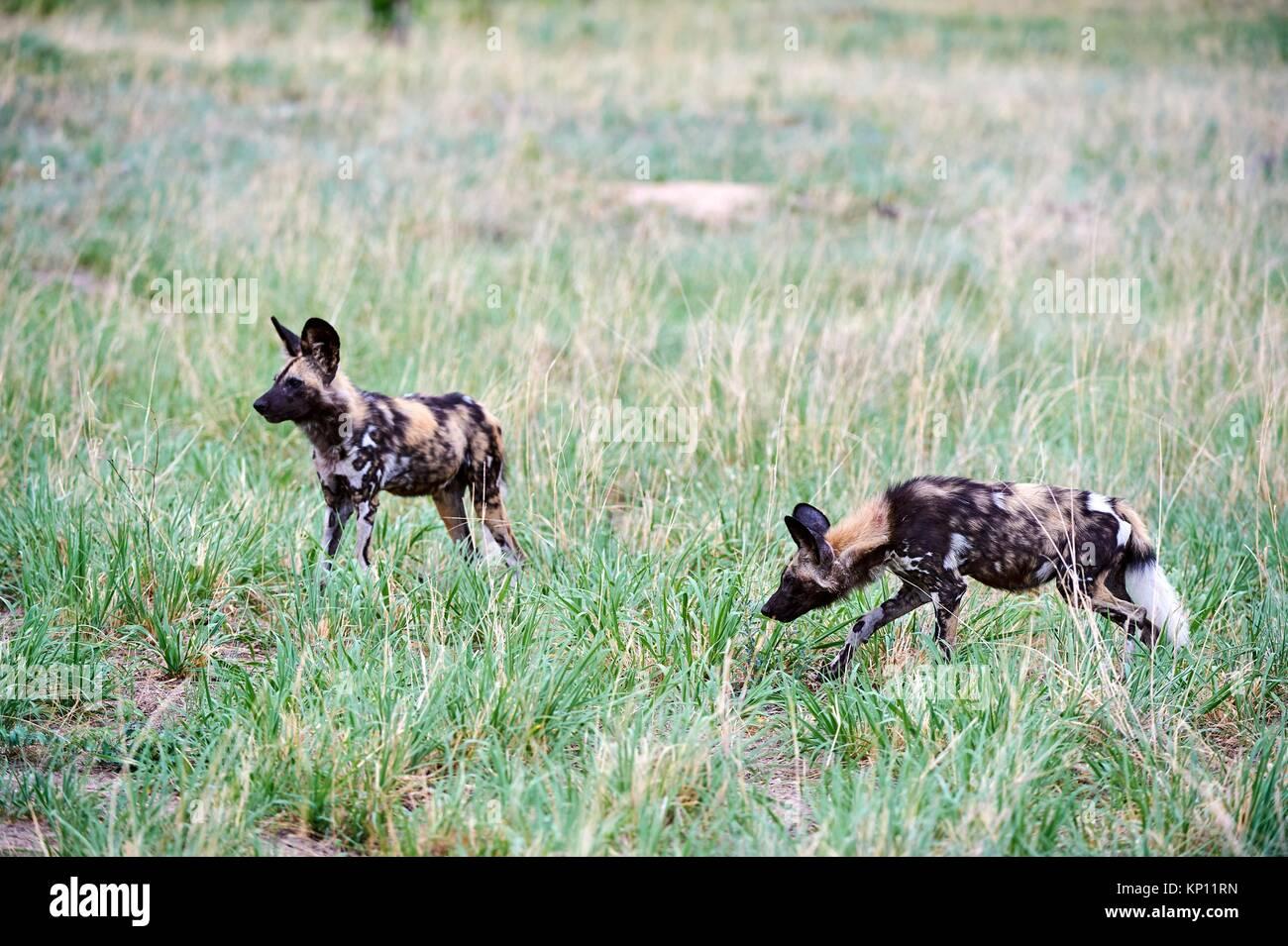 Deux lycaons (Lycaon pictus) marche dans la savane. Le parc national de Hwange, Zimbabwe. Photo Stock