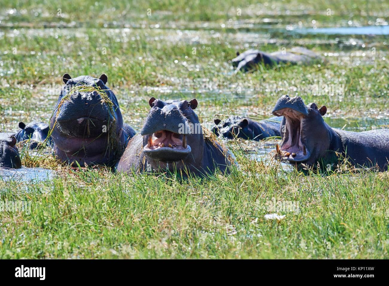 Hippopotame (Hippopotamus amphibius) Echelle et bâillements. Le Parc National de Moremi, Okavango delta, Botswana, Banque D'Images