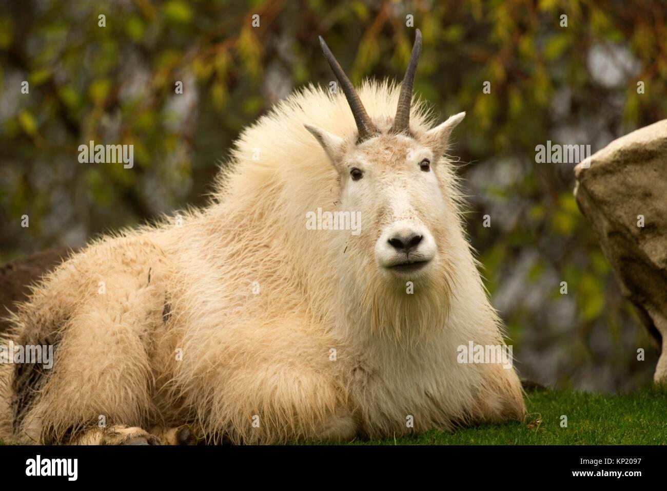 La chèvre de montagne (Oreamnos americanus), Zoo de l'Oregon, Washington Park, Portland, Oregon. Photo Stock