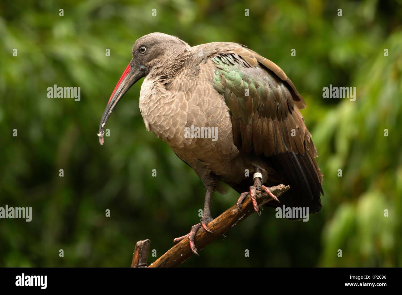 (Bostrychia hagedash Ibis hagedash), Zoo de l'Oregon, Washington Park, Portland, Oregon. Photo Stock