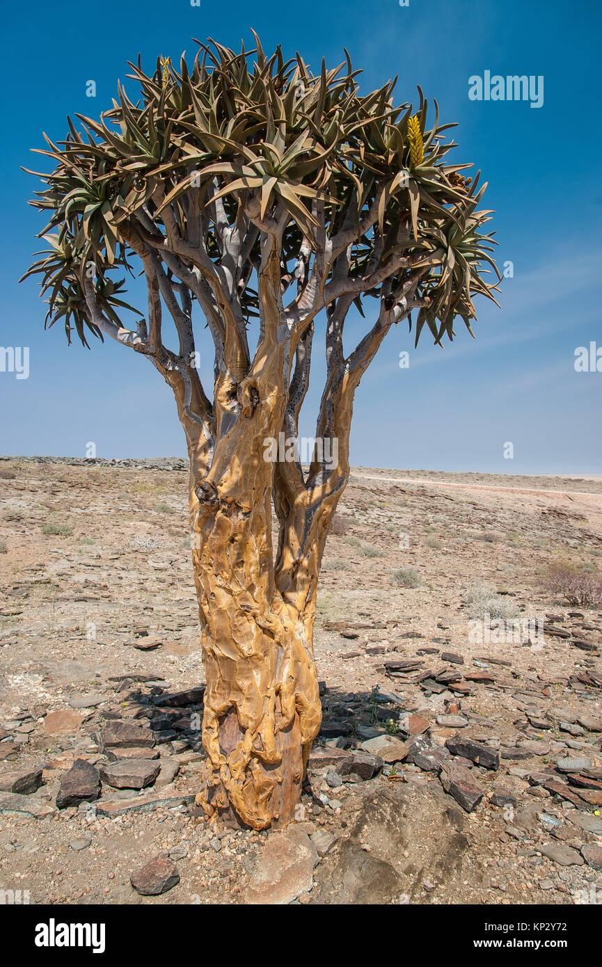 Carquois (Aloe dichotoma). La Namibie. Afrique du Sud Photo Stock