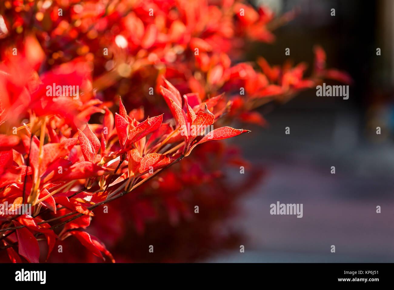 Le rouge, couleur à l\'automne d\'une bordure d\'arbustes ...