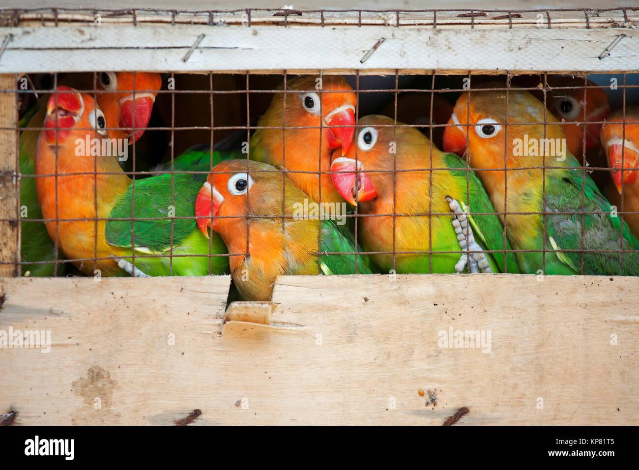 Les inséparables dans un marché d'oiseaux prêts à être expédiés vers des animaleries. L'Inséparable de Fischer (Agapornis Banque D'Images