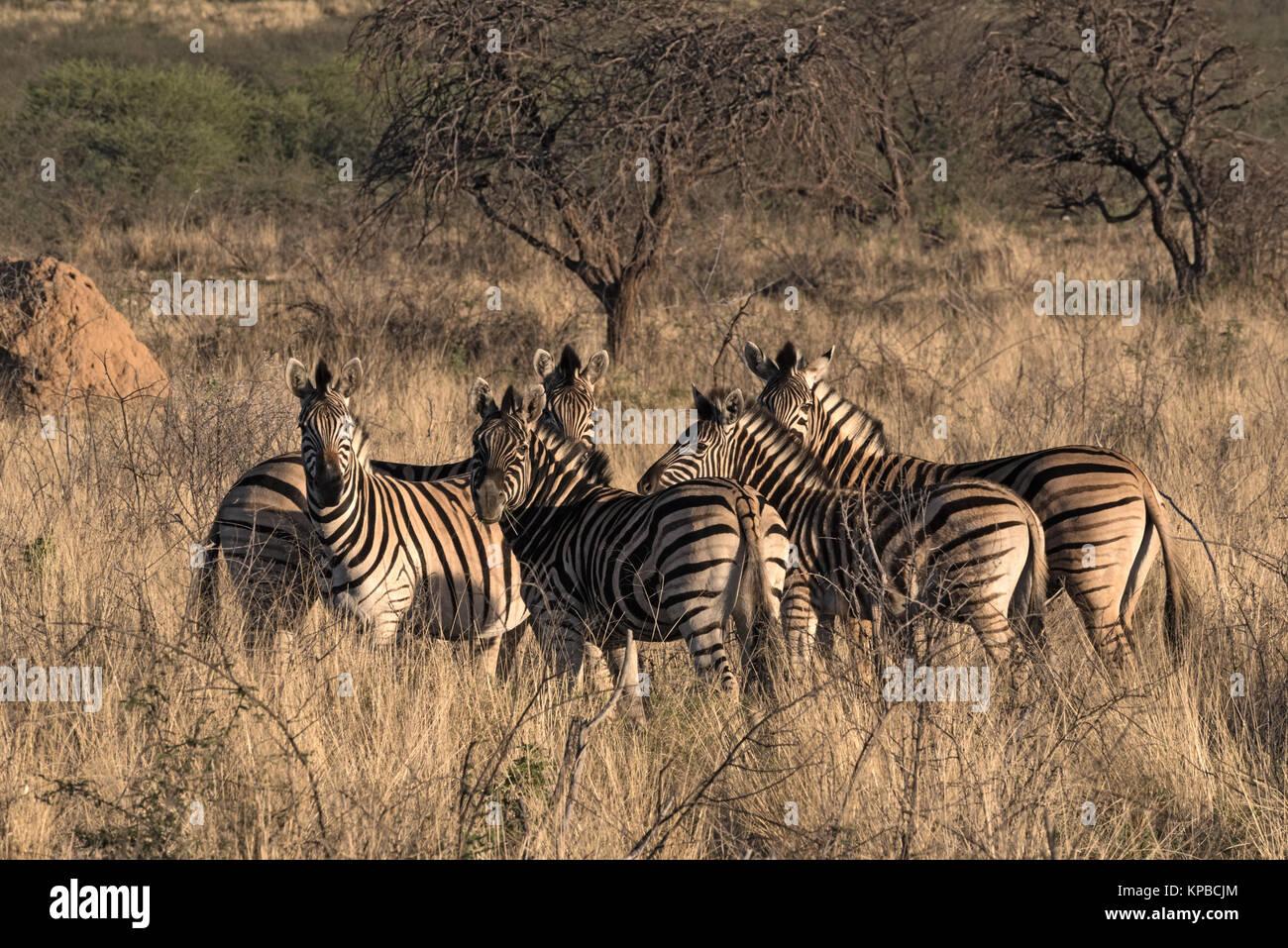 Petit troupeau de zèbres au montagnes erongo en Namibie Photo Stock