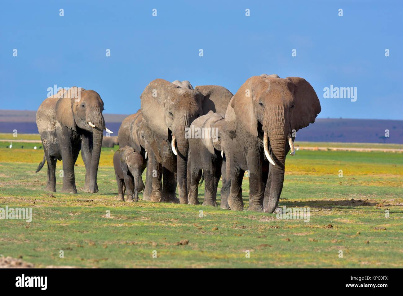 Les éléphants dans le parc national Amboseli près de Kilimandjaro au Kenya. Photo Stock