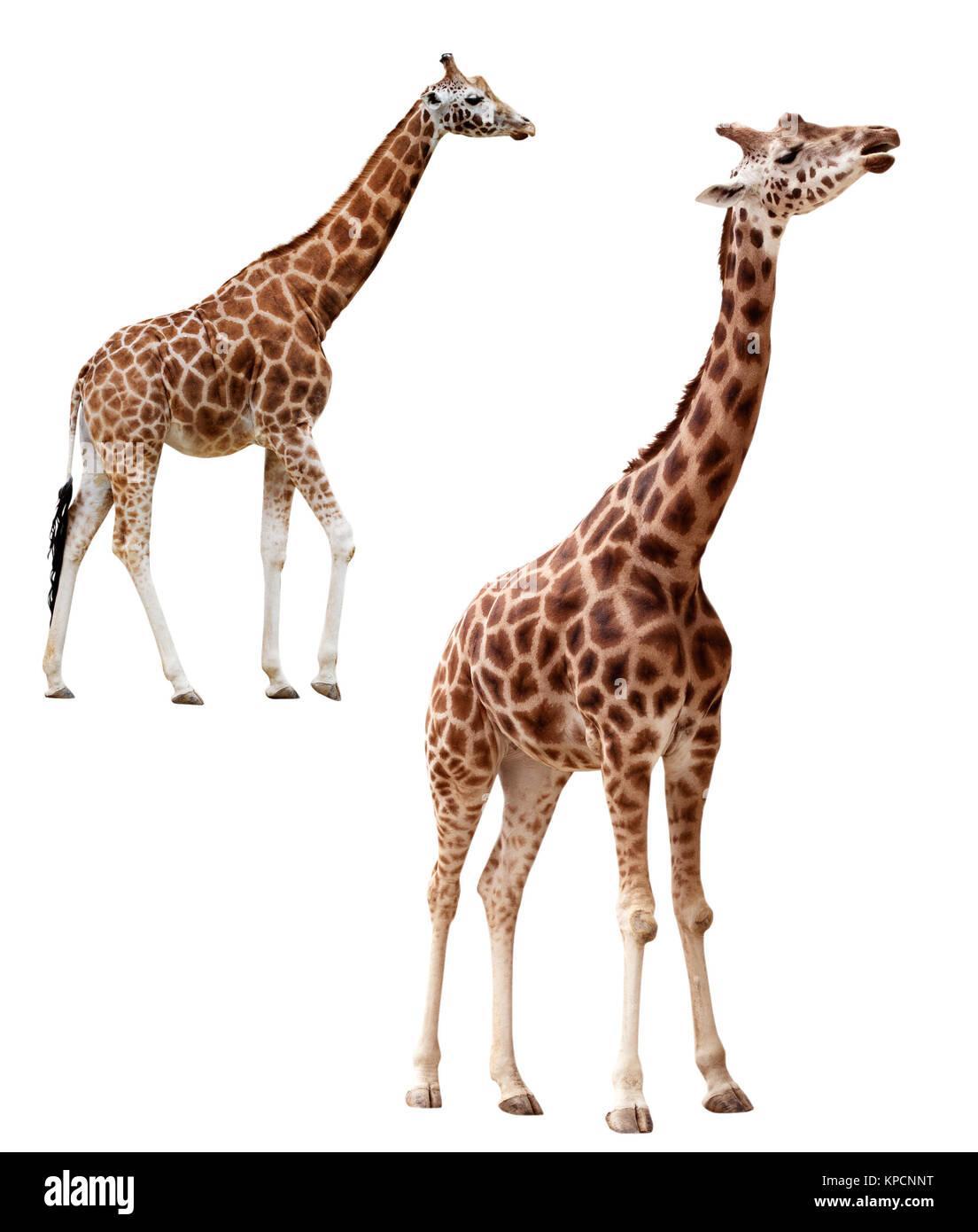 Deux girafes dans différentes positions isolées avec clipping path Banque D'Images