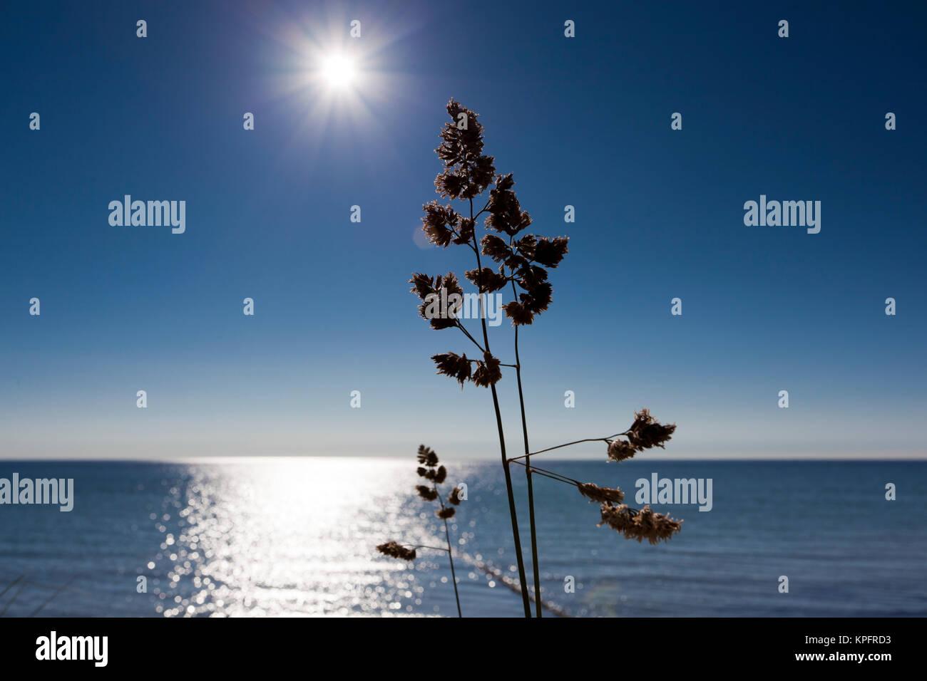 Graminées sur la plage de la mer Baltique dans le rétro éclairage de l'établissement sun Banque D'Images