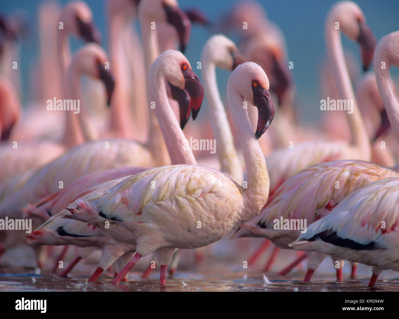 Groupe des moindres flamants rose (Phoeniconaias minor), Kenya, Africa Photo Stock