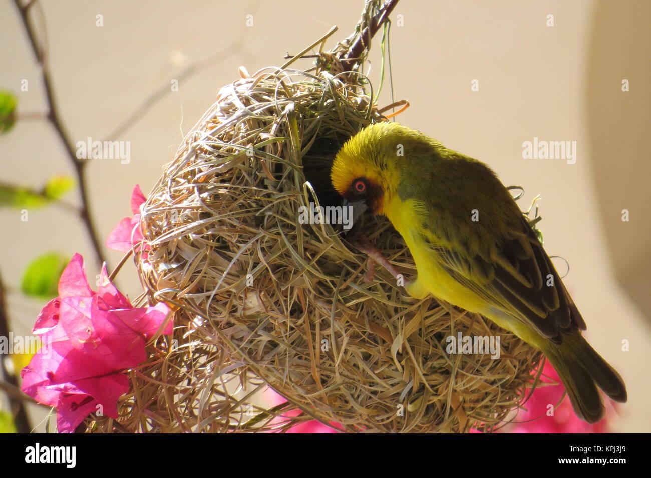 masques weaver oiseau - ploceus velatus Banque D'Images