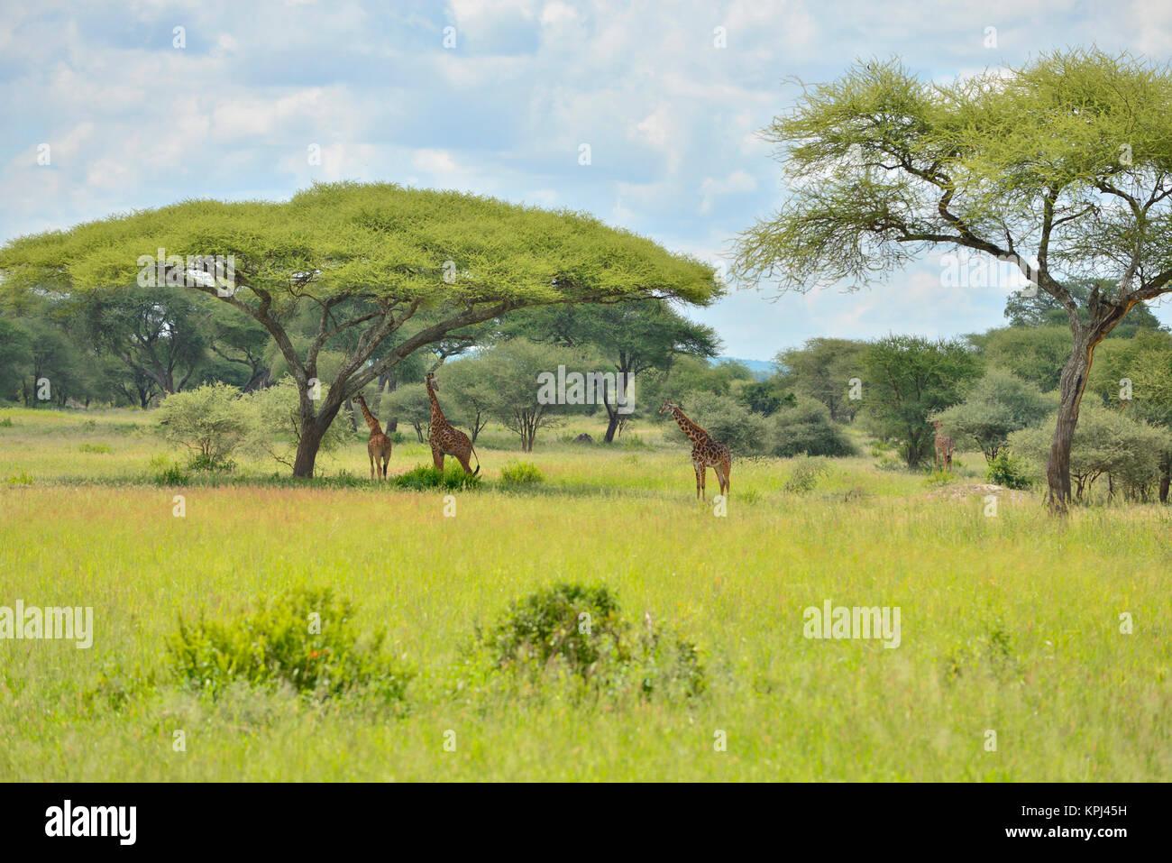 Girafe en vertu de l'acacia dans le parc national de Tarangire, en Tanzanie. Photo Stock