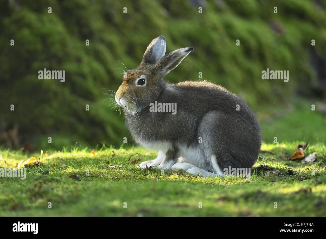 Lièvre alpin (Lepus timidus varronis) Manteau en changement, sédentaire, canton de Schwyz, Suisse Photo Stock