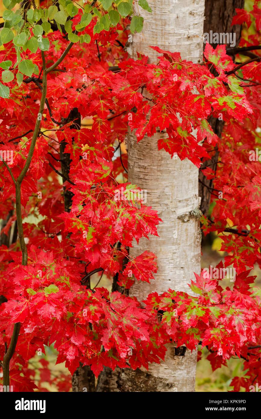 À l'automne feuilles d'érable rouge et le bouleau blanc tronc de l