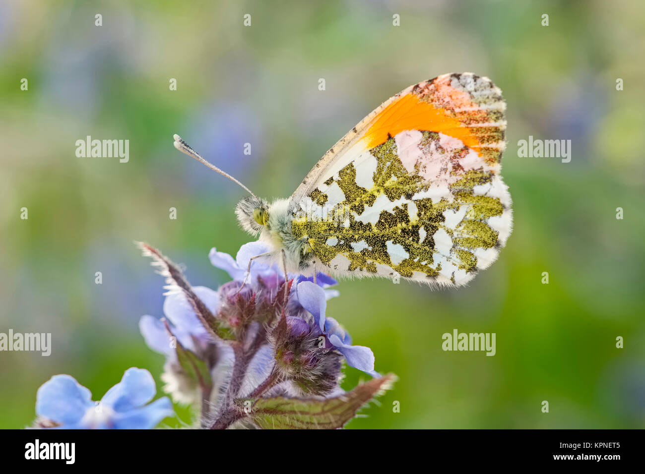Orange mâle-tip butterfly resting on forget-me-fleurs pas Photo Stock