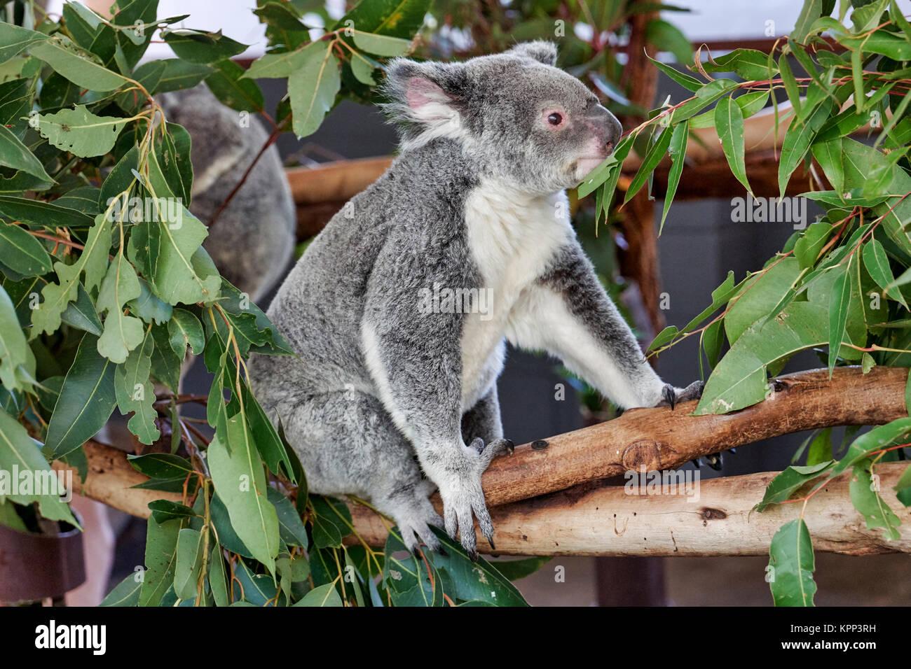 Koala (Phascularctos cinereus), au sanctuaire de Lone Pine. Brisbane ...