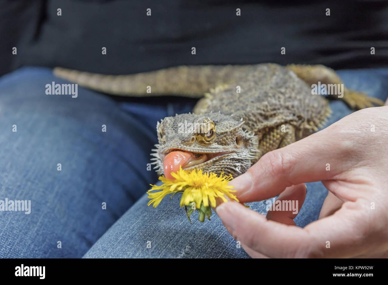 Avec une langue protubérante Agama mange le pissenlit Banque D'Images