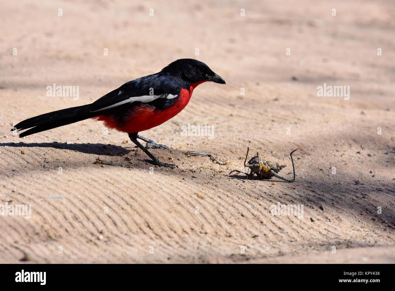 Le parc transfrontalier de Kgalagadi entre Afrique du Sud et le Botswana est le premier désert d'observer Photo Stock