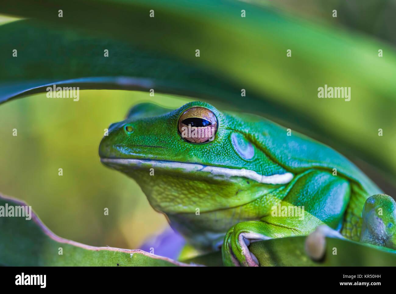 Gros plan d'une grenouille verte tropicale Banque D'Images