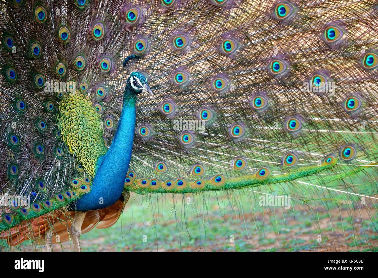 Portrait de belles plumes de paon avec Photo Stock