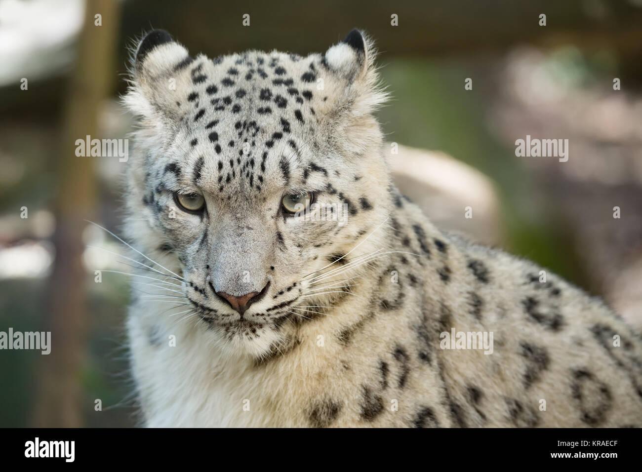 Snow Leopard, Uncia uncia Irbis Banque D'Images