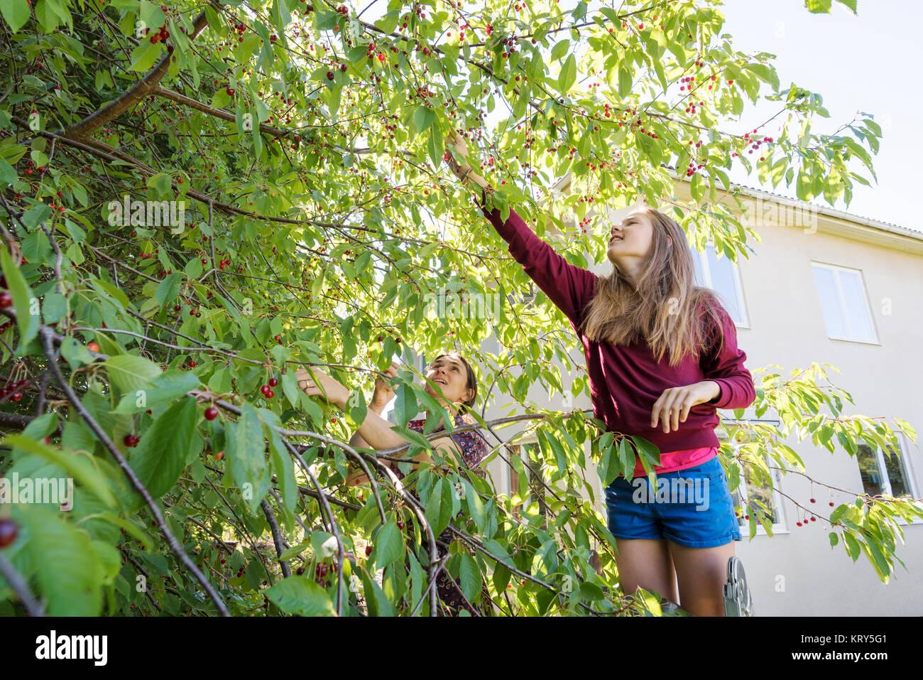 Une femme et une fille de cerises Préparation de l'arbre Photo Stock