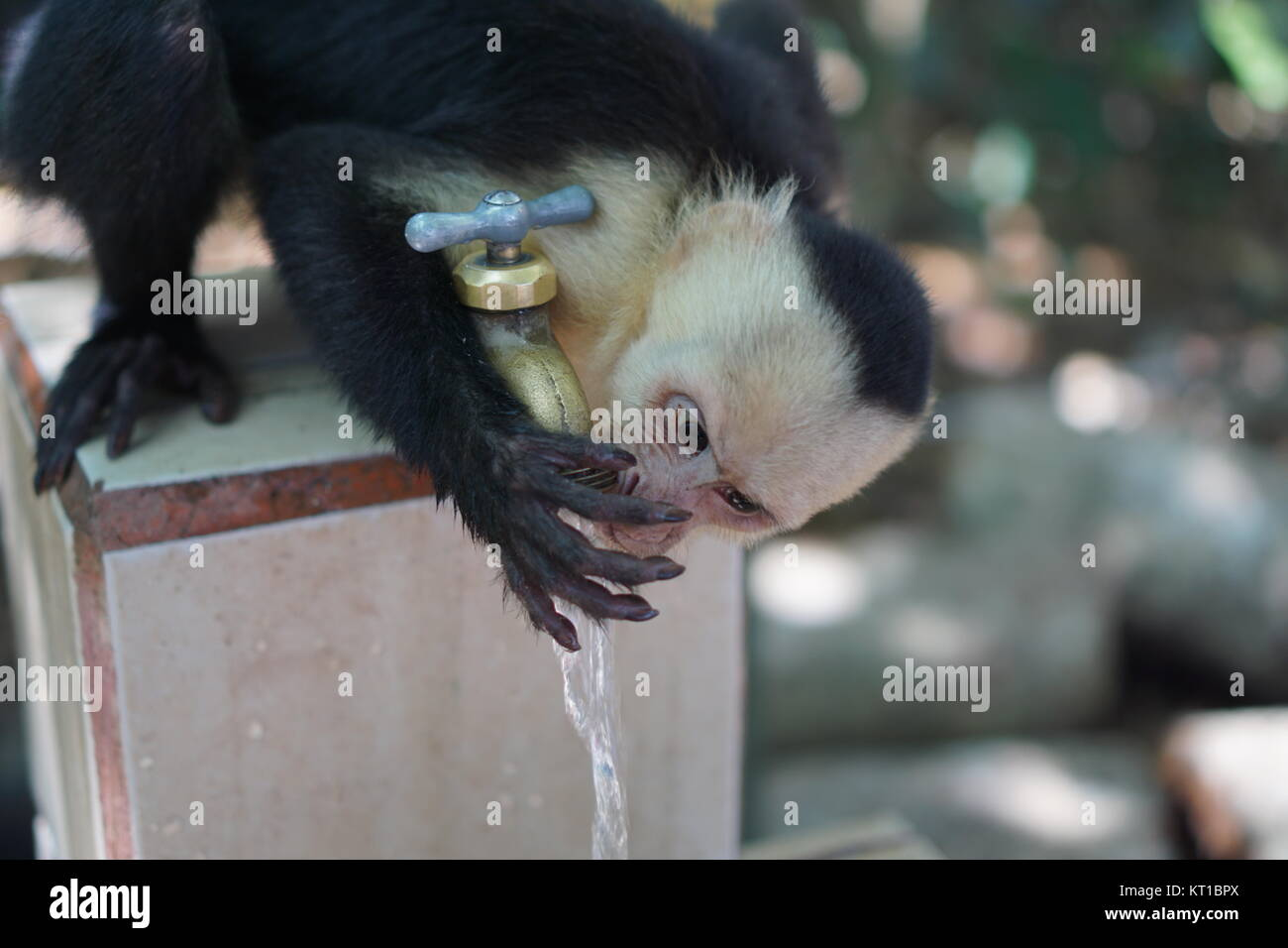Monkey drinking photos monkey drinking images alamy - Singe a la plage ...