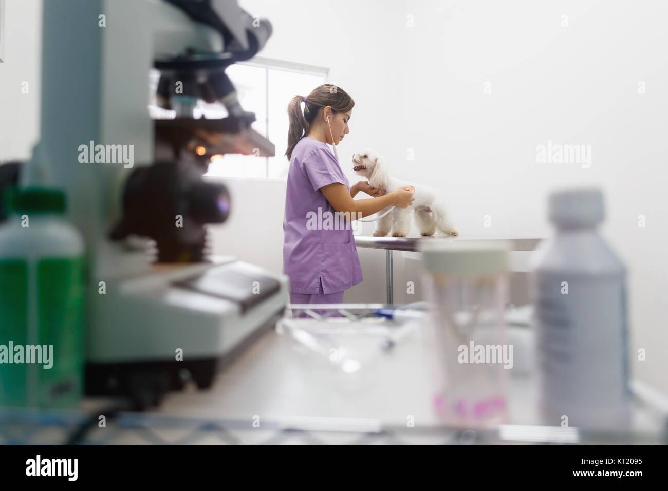 Jeune femme latina travailler comme vétérinaire, vétérinaire au cours de visite. Médecin des animaux malades en pet dans une clinique et contrôle de chien cardiaque. Les gens, emploi, professi Banque D'Images